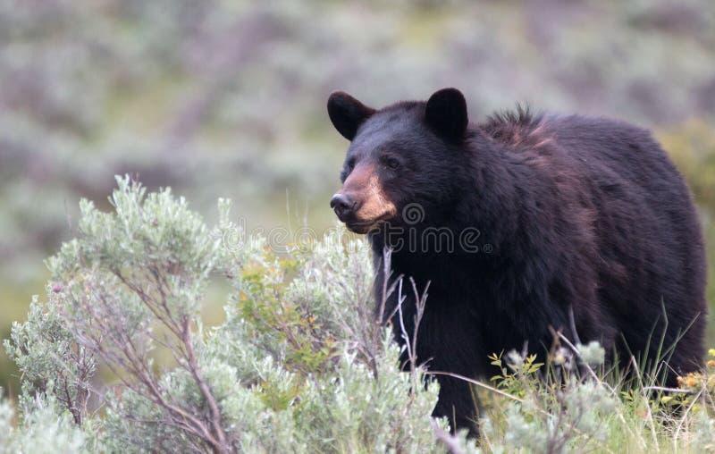 Женский американский Ursus черного медведя americanus в национальном парке Йеллоустона в Вайоминге стоковое фото rf