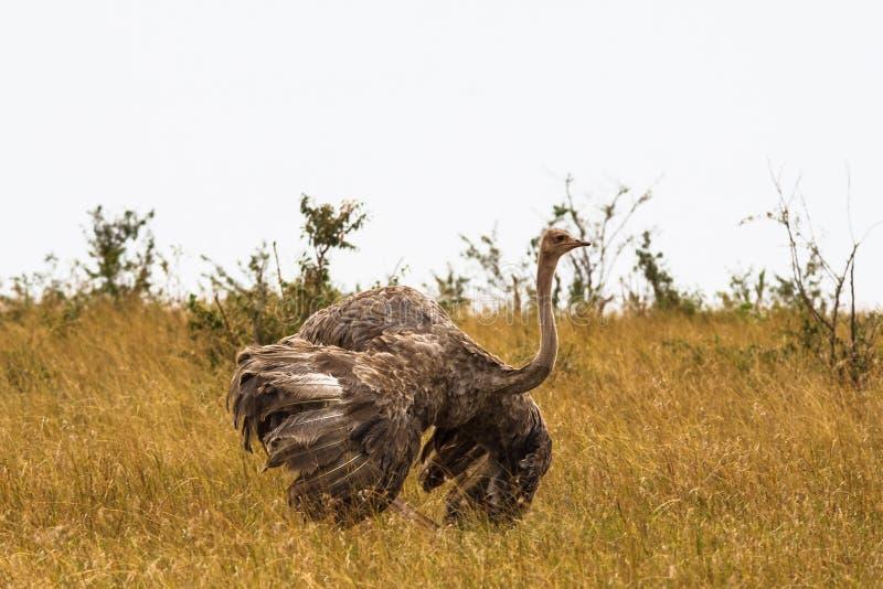 Женский африканский страус с распространенными крылами против tern 2 солнца общего замужества зеленого цвета листва flit исполнят стоковое изображение rf