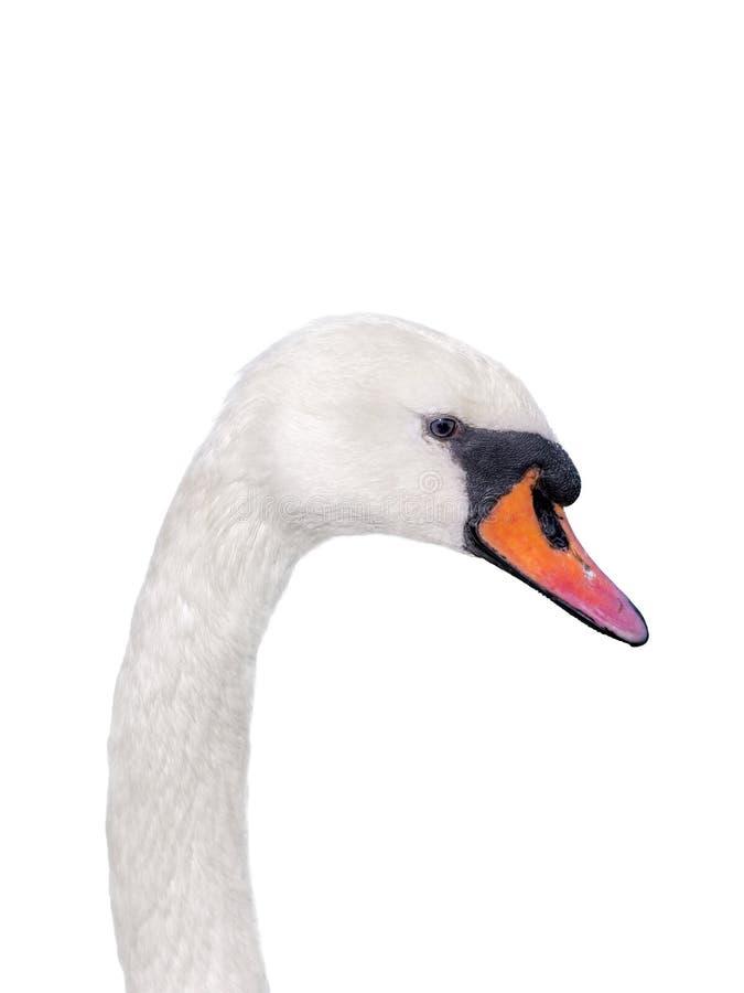 женский белый лебедь   стоковое изображение