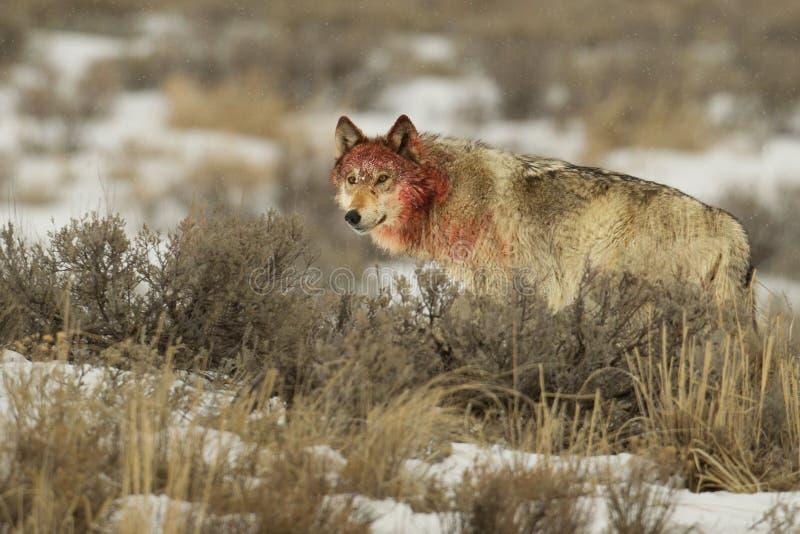 Серый цвет женского волка средний с кровопролитной головкой стоковое фото rf