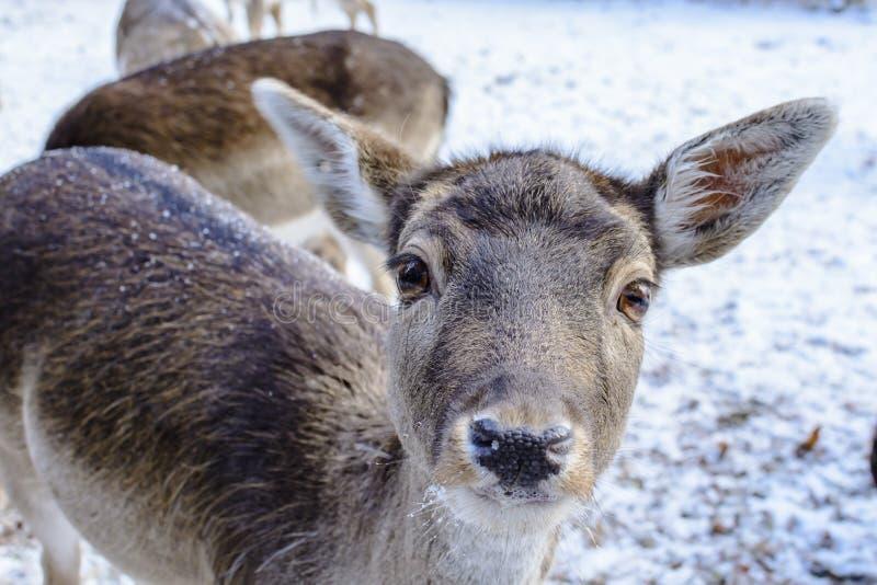 Женский залежный самец оленя стоковое изображение rf
