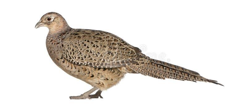 """Женский золотой фазан или """"китайский фазан """", pictus Chrysolophus стоковые изображения rf"""
