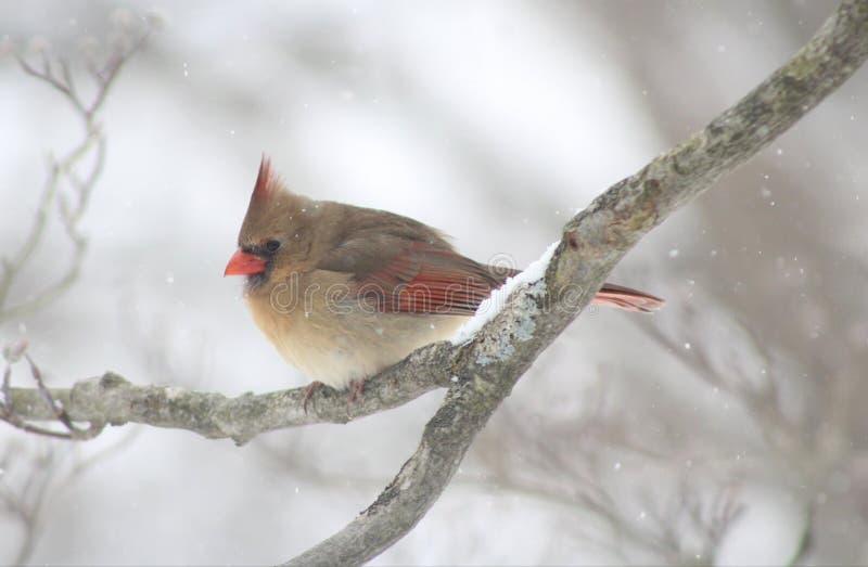 Женский кардинал во время зимы в NY стоковые изображения rf