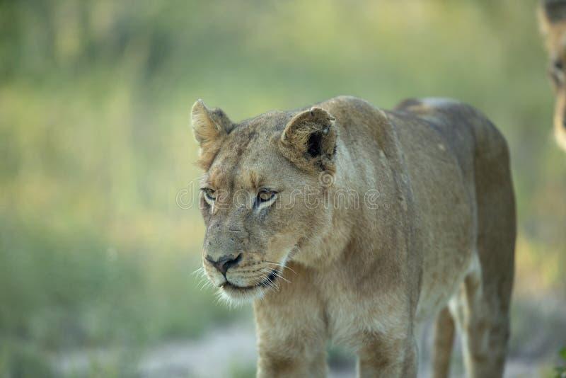 Женский лев стоковое изображение