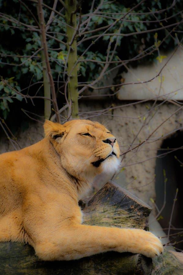 Женский лев лежа на стволе дерева стоковое фото