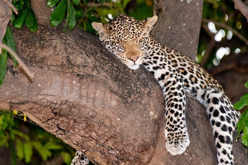 Женский леопард сидя на дереве ослабляя в Ботсване в Chobe в Африке стоковые изображения rf