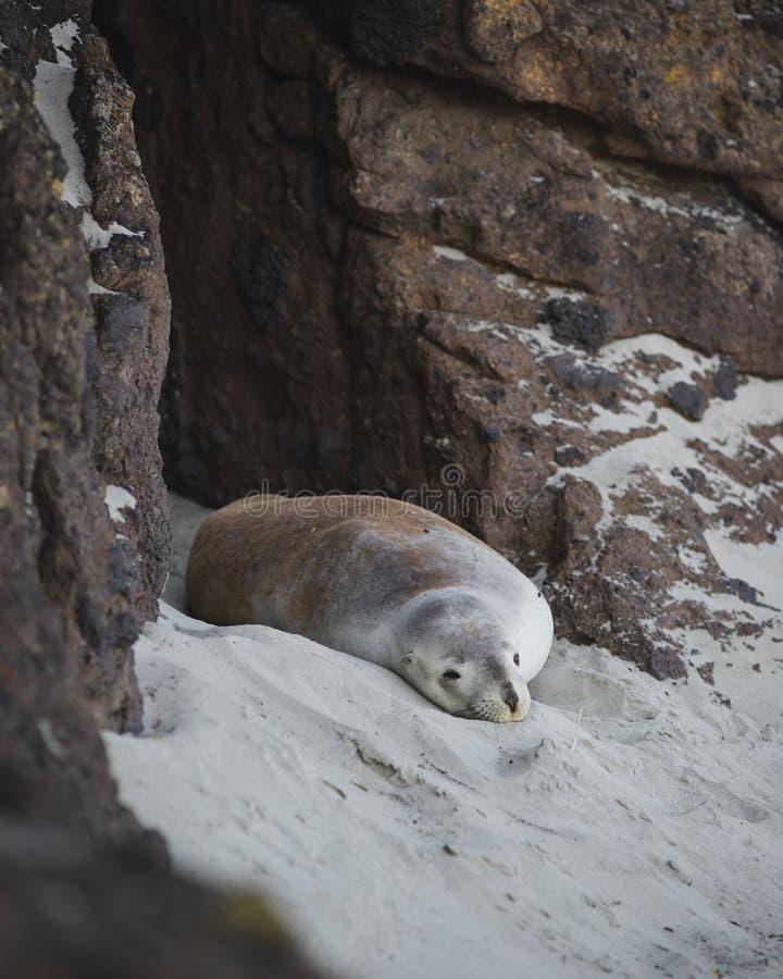 Женский морской лев в пещере пляжа стоковое изображение rf