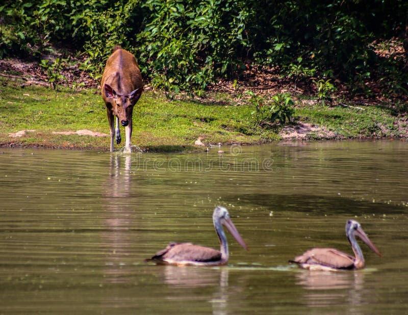 Женский олень идет поплавать стоковые изображения