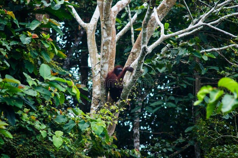 Женский орангутан Bornean сидит на ветви дерева граничат Малайзия стоковое изображение rf