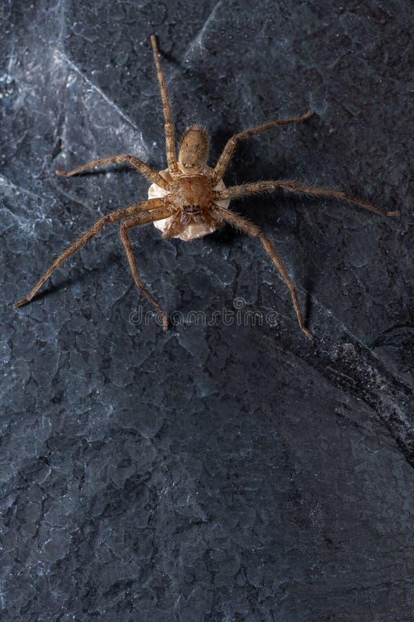 Женский паук волка с ее sac яичка стоковые изображения rf
