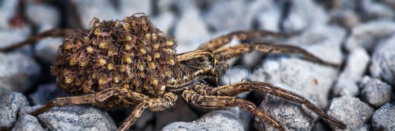Женский паук волка с младенцами стоковое фото