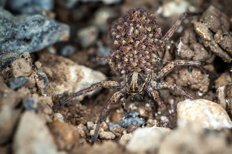 Женский паук волка с младенцами стоковые фото