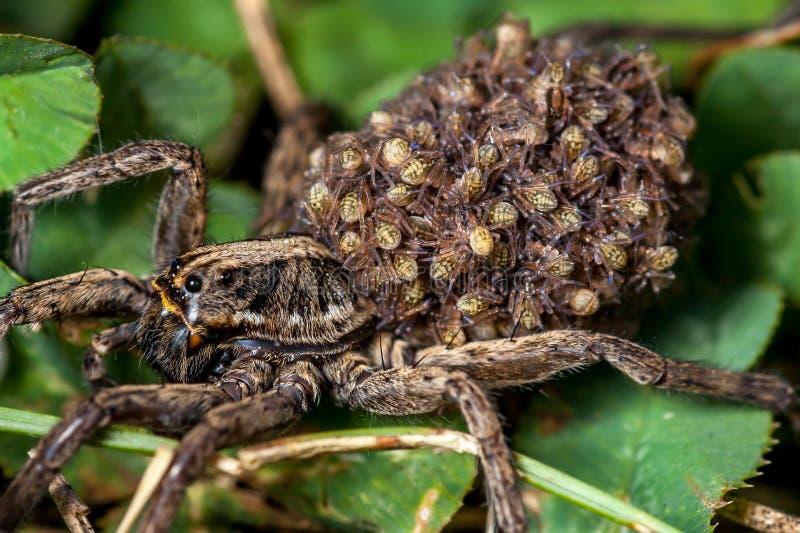 Женский паук волка с младенцами стоковые изображения rf