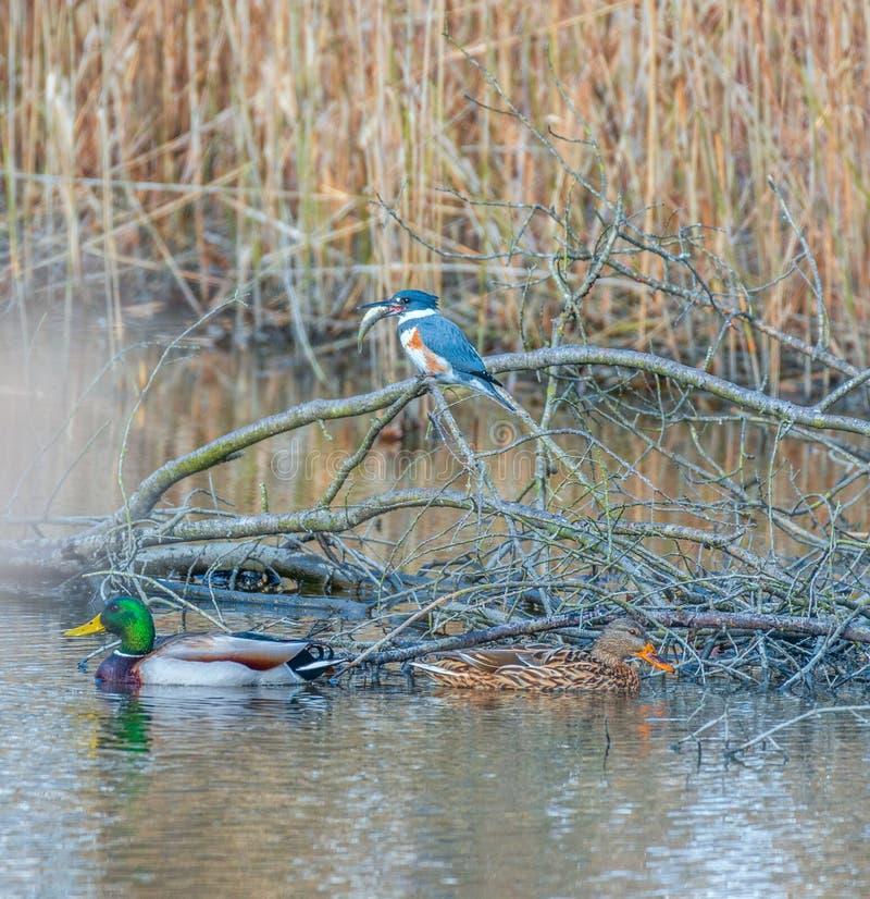 Женский подпоясанный Kingfisher с добычей Охраняемая природная территория соотечественника крюка Бомбея Делавер США стоковое фото