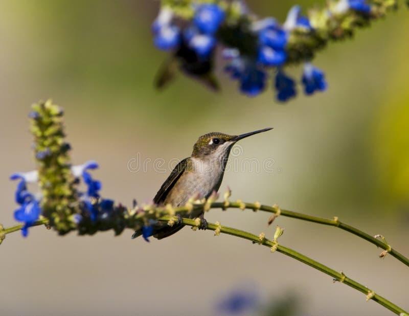 женский рубин hummingbird throated стоковые фото