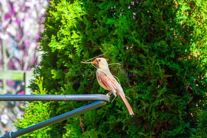 Женский северный кардинальный строить cardinalis Cardinalis птицы стоковые изображения rf