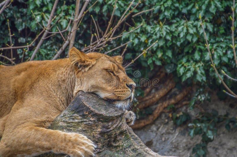 женский спать льва стоковое фото
