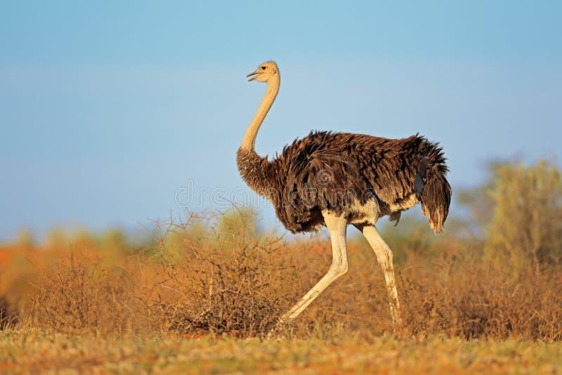 Женский страус стоковое изображение