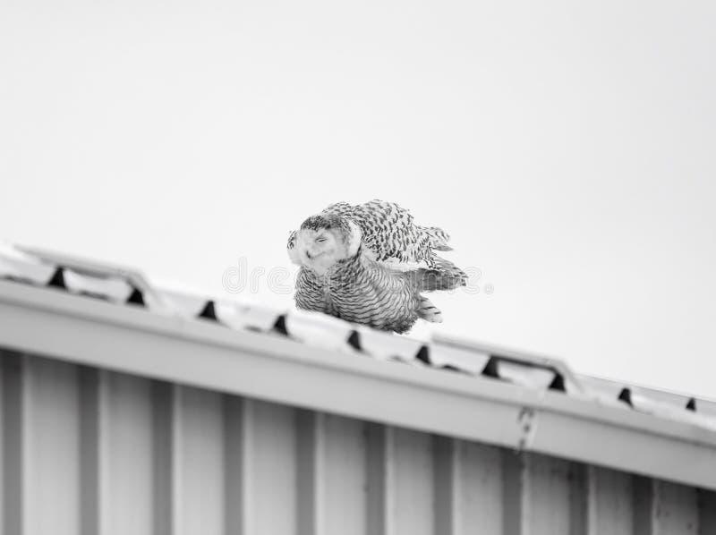 Женский сыч Snowy на крыше олова стоковые фотографии rf