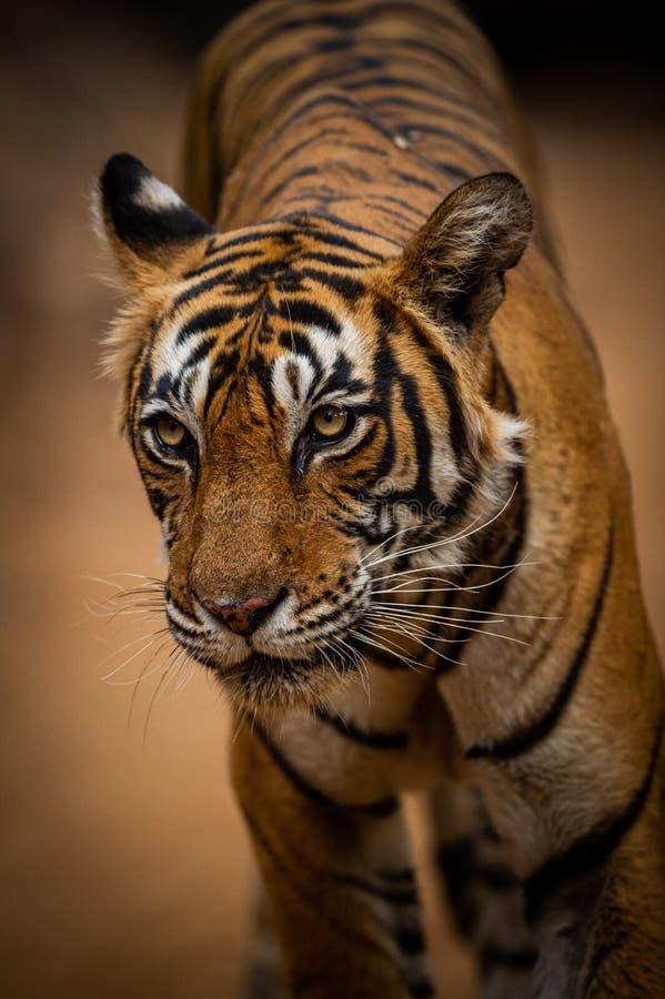Женский тигр на выравниваясь прогулке приходя прямо к нашему кораблю сафари на Ranthambore стоковое фото rf