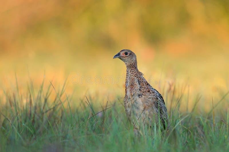 Женский фазан - детеныш стоковые изображения