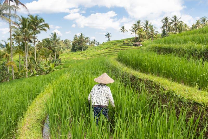 Женский фермер нося традиционную азиатскую деятельность шляпы падиа в красивых плантациях террасы риса Jatiluwih на Бали стоковые изображения rf