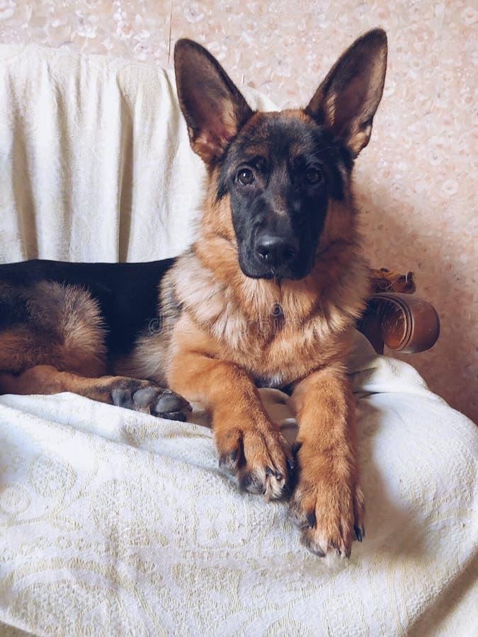 Женский чистоплеменный щенок немецкой овчарки стоковая фотография rf