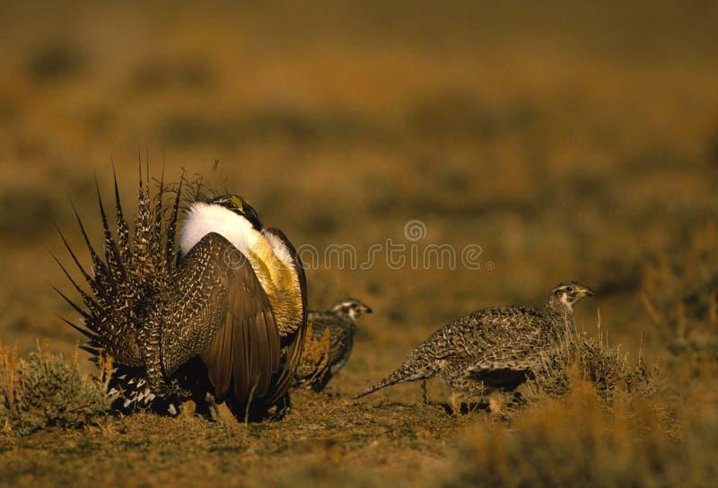 женский шалфей мужчины grouse стоковая фотография rf