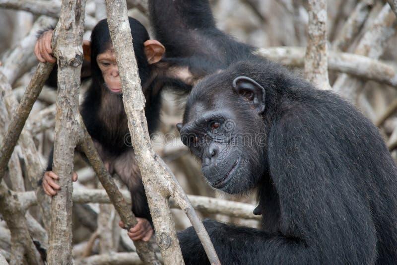 Женский шимпанзе с младенцем на деревьях мангровы Республика Конго Запас Conkouati-Douli стоковое изображение