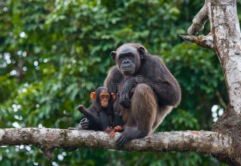 Женский шимпанзе с младенцем на деревьях мангровы Республика Конго Запас Conkouati-Douli стоковые изображения rf