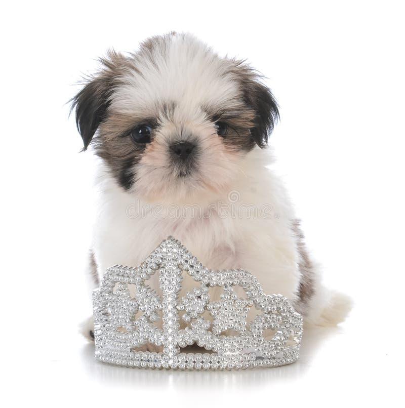 женский щенок tzu shih сидя внутри тиары стоковая фотография rf