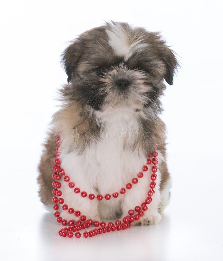 женский щенок tzu shih стоковые изображения