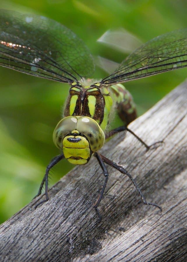 Женский южный Dragonfly лоточницы кладя яйца стоковые фотографии rf