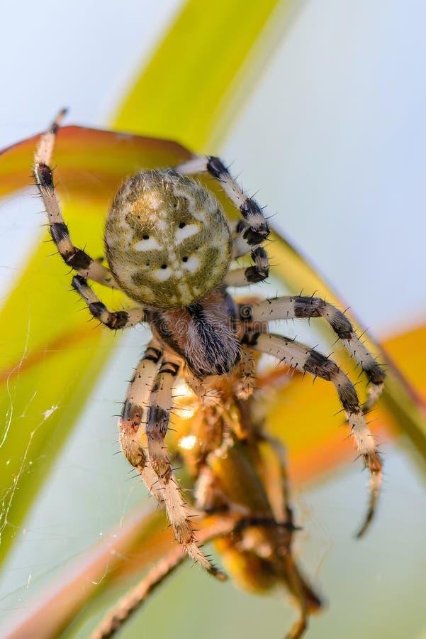 Женский Araneus стоковая фотография rf
