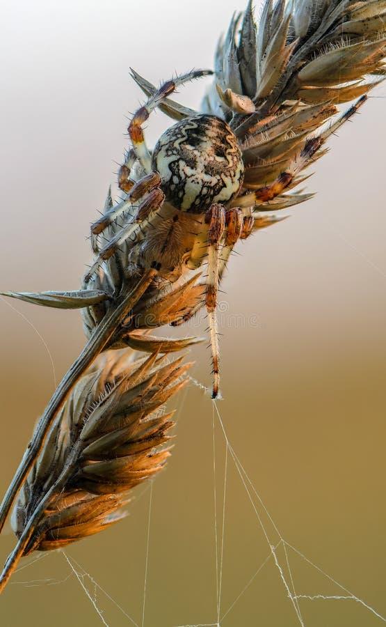 Женский Araneus стоковые фотографии rf