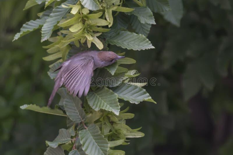Женский blackcap на дереве стоковая фотография