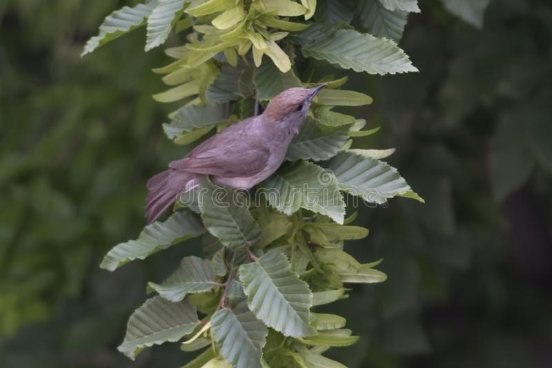 Женский blackcap на дереве стоковые фото