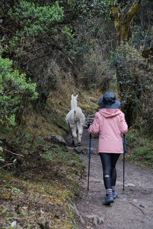Женский hiker и одичалая прогулка альпаки вперед на известном следе Inca Перу стоковое фото rf