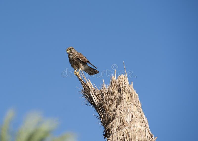 женский kestrel смотря prey окуня стоковые изображения