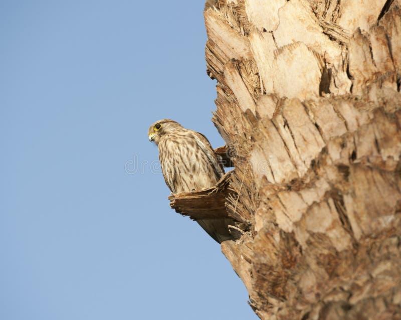 женский kestrel смотря prey окуня стоковое изображение rf