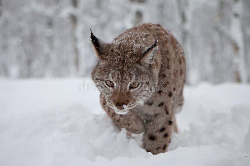 женский lynx hunt стоковое фото rf
