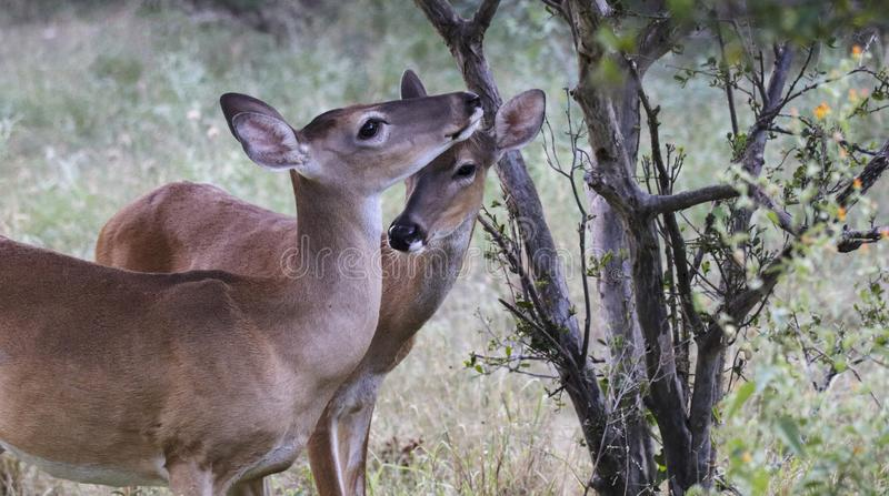 2 женских оленя whitetail стоковое фото rf
