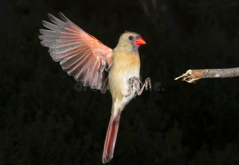 Женское северное кардинальное (летание cardinalis Cardinalis) стоковые фотографии rf