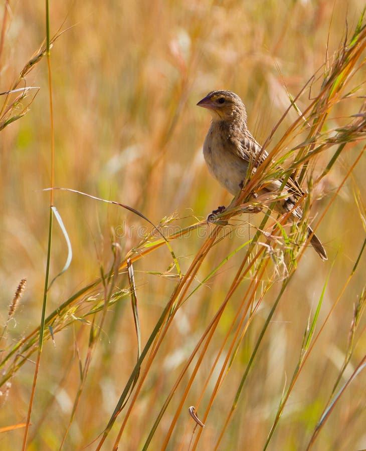 женское село indigobird стоковое фото rf