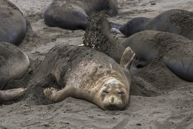 Женское уплотнение слона бросает песок на заднюю часть стоковые фото