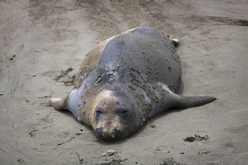 Женское уплотнение слона полностью… Перелиняйте на пляже Калифорния стоковые изображения rf