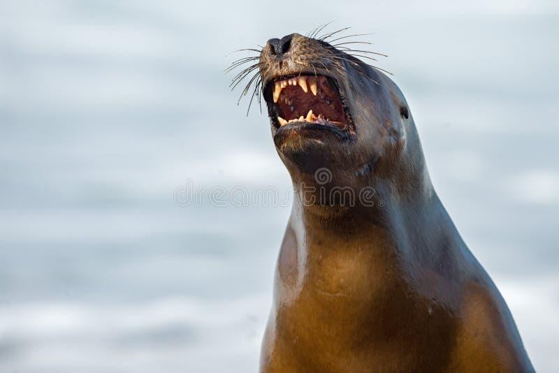 Женское уплотнение морсого льва зевая стоковое изображение rf