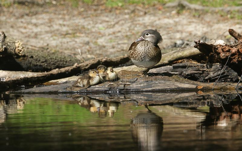 Женское galericulata AIX утки мандарина отдыхая с ее милыми утятами младенца на крае озера с их showin отражений стоковые фото
