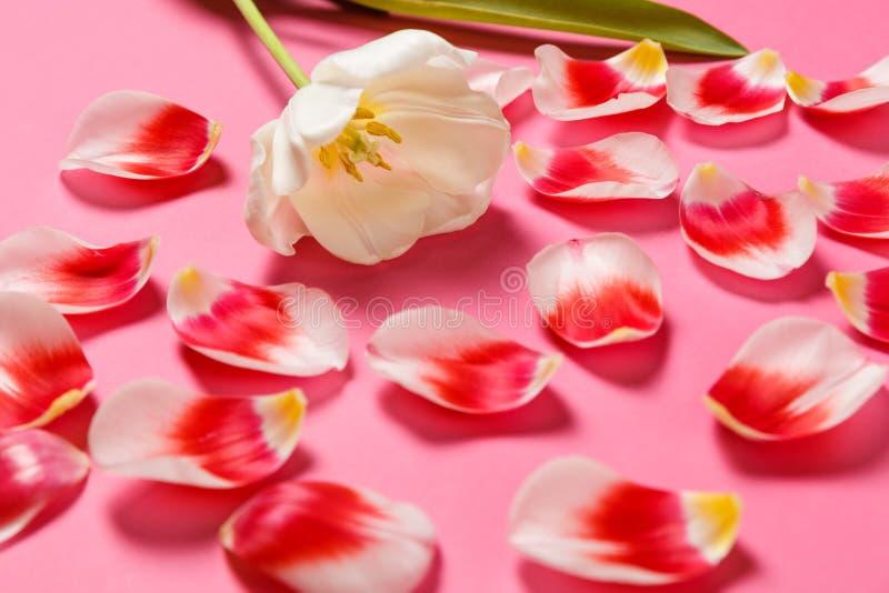 Женственная стильная насмешка вверх с цветком тюльпана, лепестками Космос экземпляра для вашего дизайна, для свадеб, приглашения, стоковое изображение
