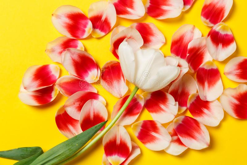 Женственная стильная насмешка вверх с цветком тюльпана, лепестками Космос для вашего дизайна, свадьбы экземпляра, приглашения, бл стоковые фото